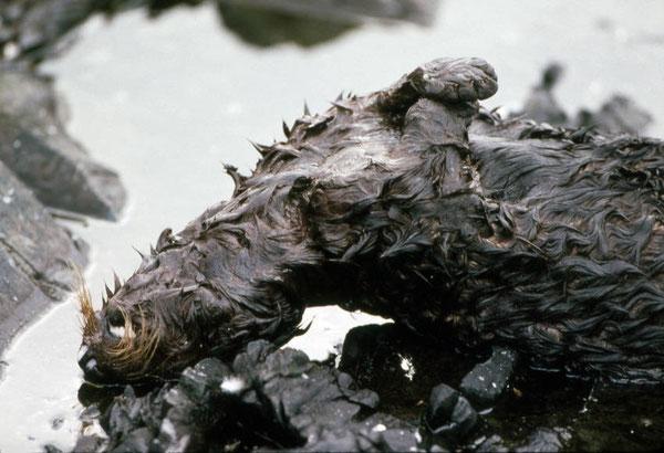 エクソン・バルディーズ号原油流出事故で原油に汚染され死んだラッコ Applegate Rocks, Prince William Sound, March 25, 1989. (Alaska. Dept. of Fish and Game)
