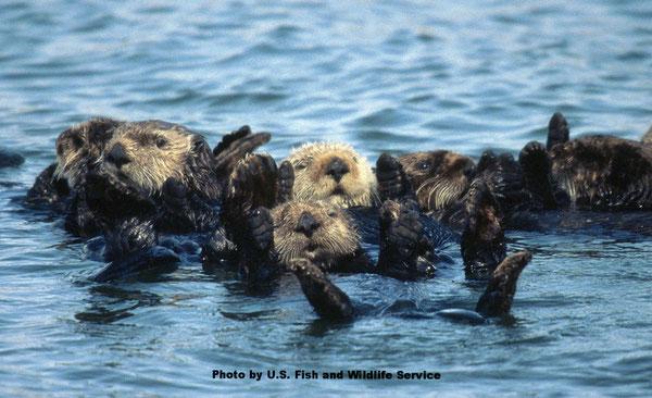 ラッコの群れが休んでいるところPhoto by U.S. Fish and Wildlife Service.