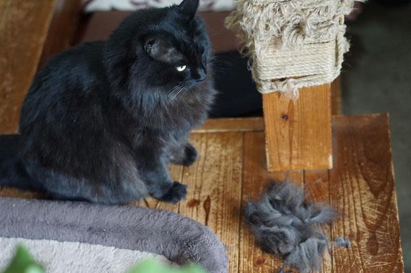 猫 おしりの毛 長毛種 メインクーン