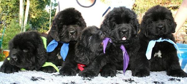 питомники ньюфаундлендов в Санкт-Петербурге, купить щенка ньюфаундленда в Питере, щенки ньюфаундленда в СПб