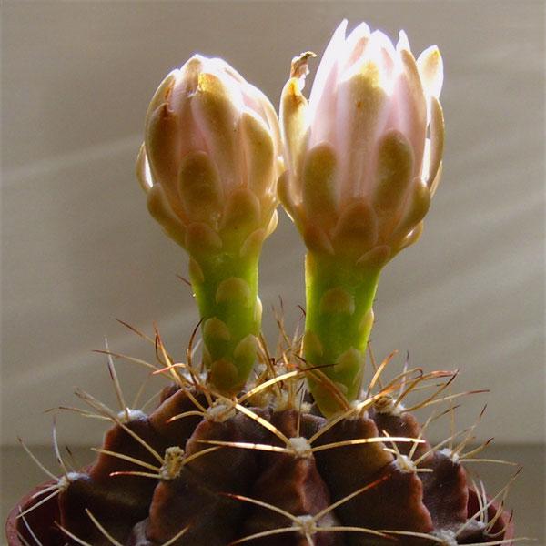 Gymnocalycium mihanovichii var. friedrichii