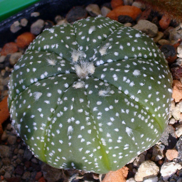 Astrophytum asterias spec. Texas