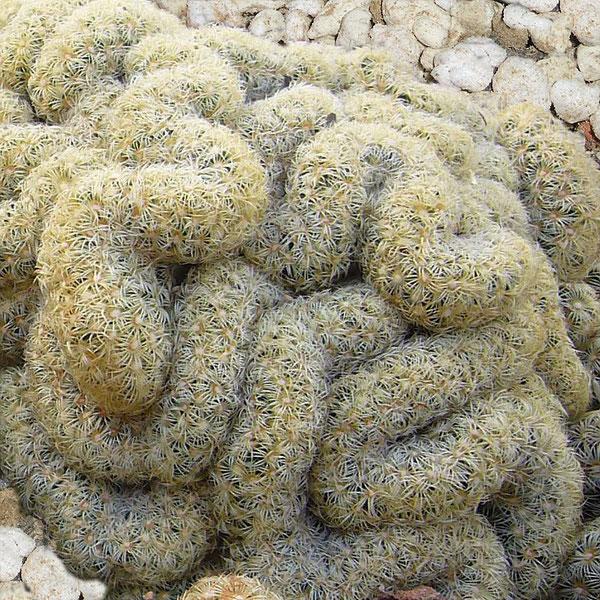 Mammillaria elongata  var. cristata