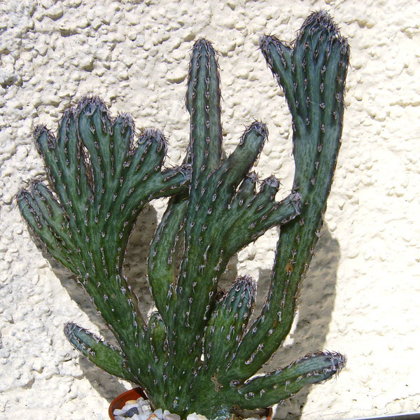 Monvillea spegazzinii forma cristata