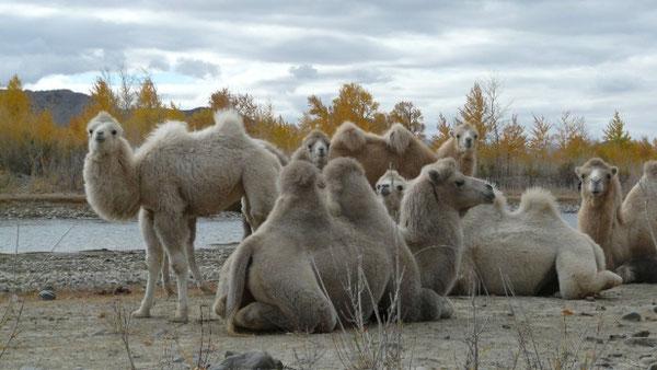 Petite famille de chameaux