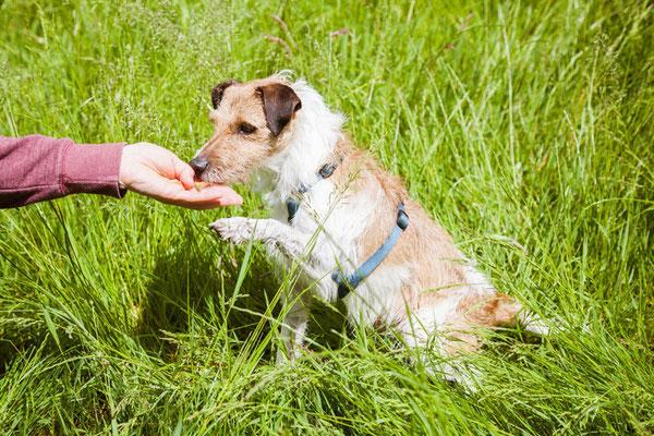Hund macht Sitz im Gras und bekommt ein Leckerli