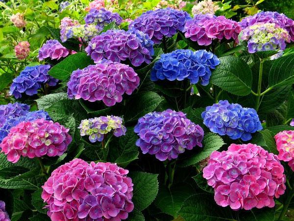 あじさい鍼灸マッサージ治療院 色とりどりの紫陽花