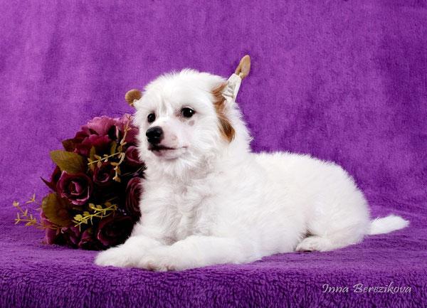 щенок китайской хохлатой пуховая девочка белая, Украина, Одесса
