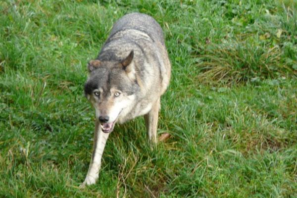 Den Wolf hautnah erleben - im Wild- und Wanderpark in Silz ist das möglich