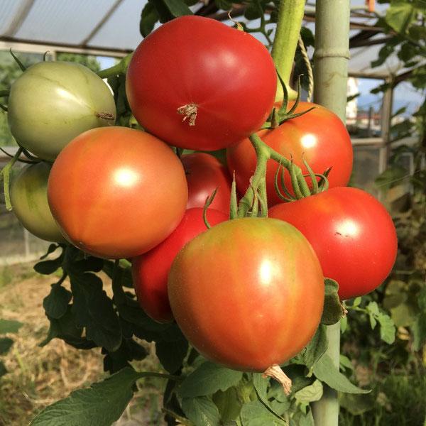 news設計室 建築家 半農半建 農作業 野菜づくり トマト
