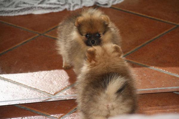 Natürlich ist das unsere kleine Hummel, der Pomeranian ( Zwergspitz ) unserer Tochter Lilly!