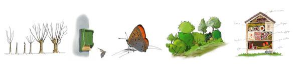 la croissance du saule têtard / chiroptière / cuivré des marais / Haie champêtre / Hotel à insectes
