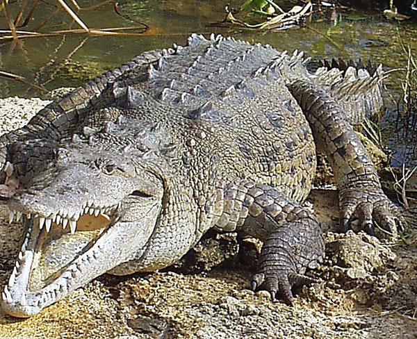 Freundliche Krokodile im Black River, Jamaica