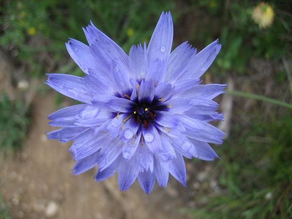 Catamanche bleue