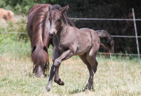 Großes Interesse habe ich auch an der Pferdezucht, erstes selbstgezogenes Fohlen: Björgvin vom Langel