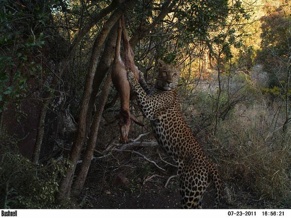 Enorme maschio di leopardo