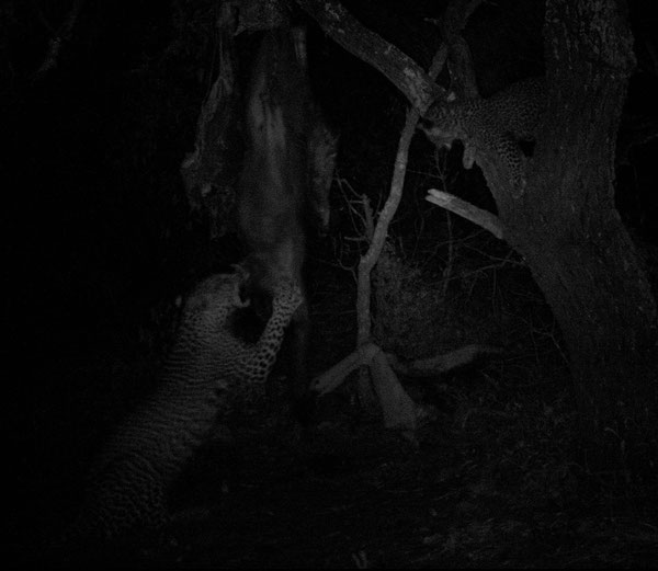 Femmina e piccolo di leoaprdo (Ingwe)
