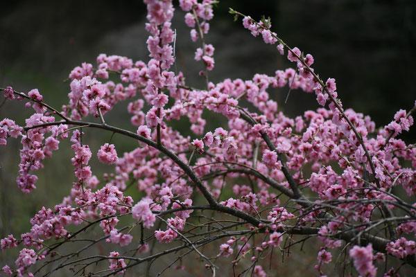 土助梅園の桃の花