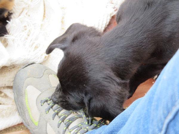 Schuhsenkel - immer ein besonderer Reiz für Welpen