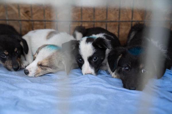 Hundewelpen bei Pro Dog Romania eV