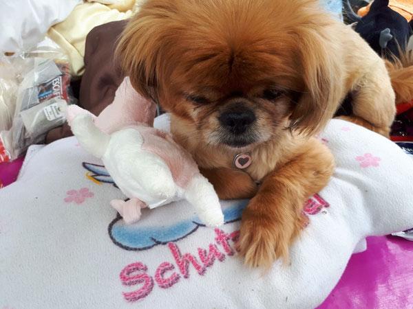 Nelly vom Hof Chaoti liebt ihr neues Schmusekissen und Spielzeug von Helficus