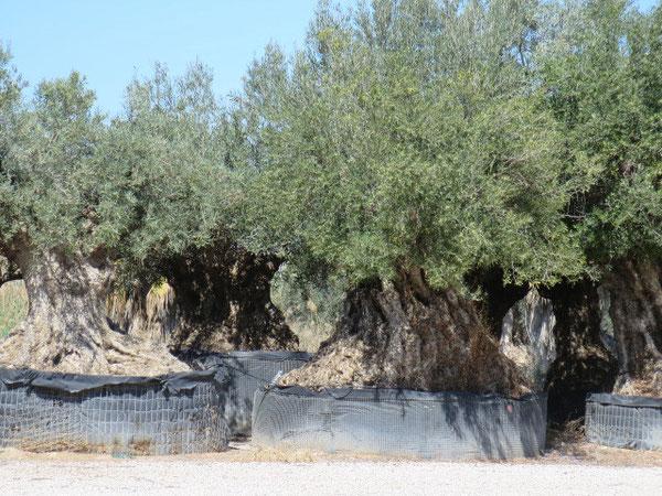 Alte Olivenbäume, die hier überall in Baumschulen verkauft werden