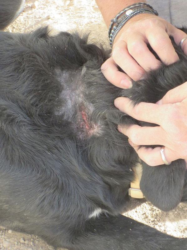 Moras Narbe am Hals während des Heilungsprozesses