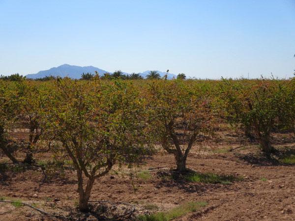 Die Granatapfel-Bäume bekommen wieder Laub