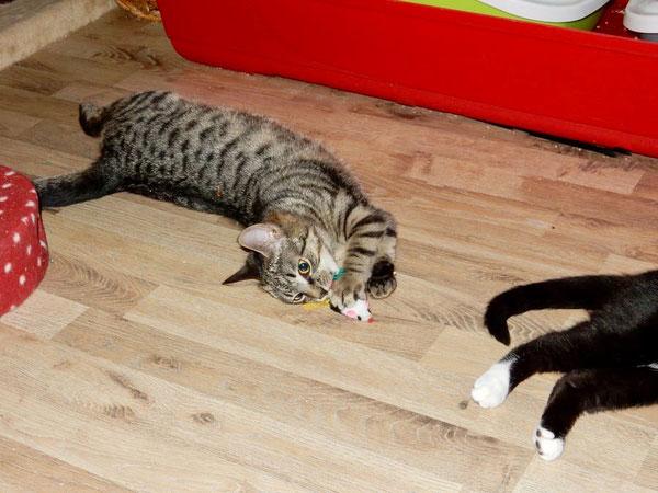 Katzen-Yoga: dlie flüchtende Spielzeugmaus