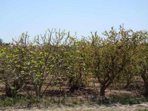 Eine Granatapfel-Plantage und links ein Feigenbaum, der ebenfalls wieder Blätter bekommt