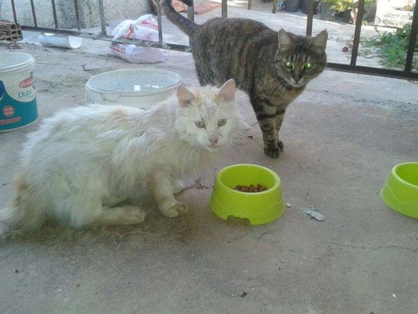 Kastration Kater (weiß), Antalya/Türkei, Tierhilfe Antalya eV