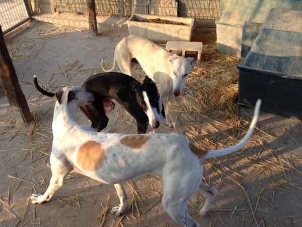 Rüde Monte (weiß/braun), Rüde Phil (schwarz/weiß), Rüde Danco (beige)