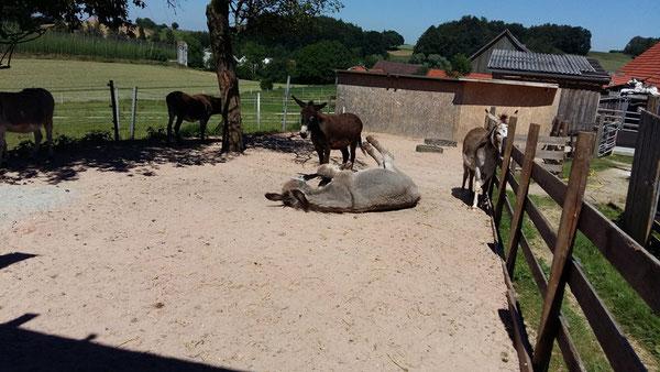 Esel im Paddock
