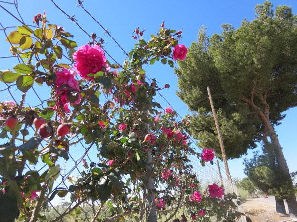 Ein Rosenstrauch am Wegesrand - die Blüten haben wunderbar geduftet!