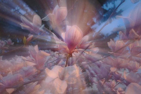 Tulpen-Magnolien (Magnolia x soulingeana), Rottenburg, April 2015, Canon EOS 550d.