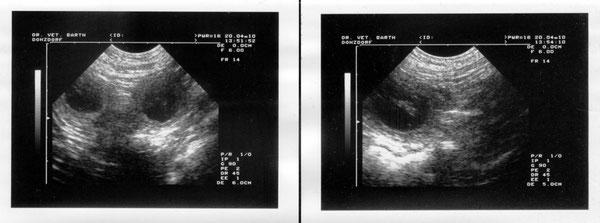 Ultraschall der 4 Wochen alten Welpen: Kann jemand schon das Geschlecht und die Fellfarbe der Kleinen erkennen?