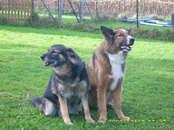 Bobby, Colliemix und Cindy Schäferhusky, Eltern von unserem Dusty sind im Hundehimmel wieder vereint