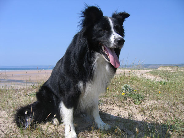 Tally, Border Collie     geb. 24.06.2003  gest. 08.11.2017