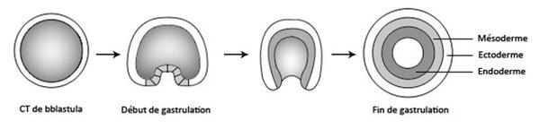 Figure 20 : La gastrulation