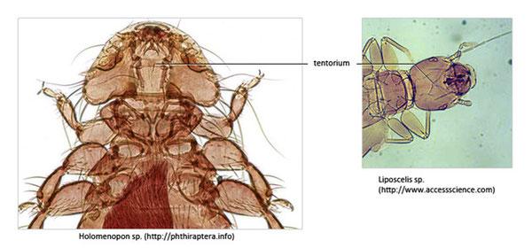 Figure 30 : photos montrant la variation du tentorium chez une espèce de poux du genre Holomenopon (anciennement de l'ordre des Mallophages) et un Psocoptera du genre Liposcelis © entomoLOGIC (photos : phtiraptera.com et accesscience.com)