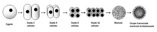 Figure 19 : Formation de la blastula