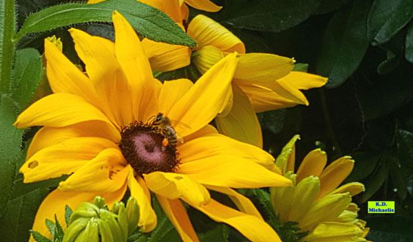 Gelber Sonnenhut Rudbeckia mit einer Nektar trinkenden Honigbiene mit orangen Pollenhöschen darauf von K.D. Michaelis