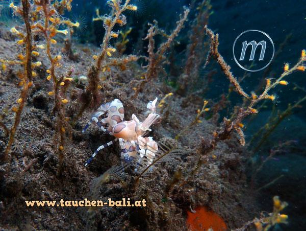 Östliche Harlekingarnele / harlequin shrimps / Hymenocera picta