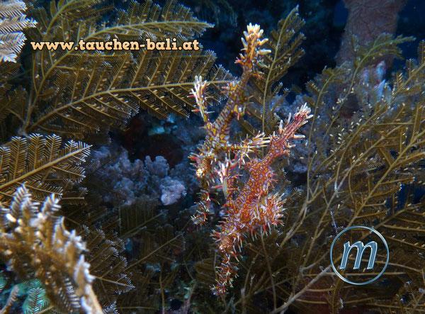 Harlekin-Geisterpfeifenfisch, engl. ghost pipefish, Solenostomus paradoxus
