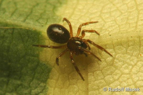 Pavouci-CZ © Rudolf Macek