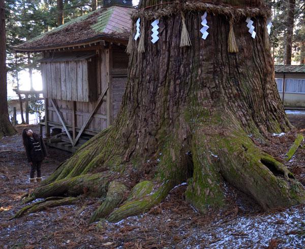 七崎神社の「神の杉」・僧行海が手植えしたと云う杉の巨木の1本