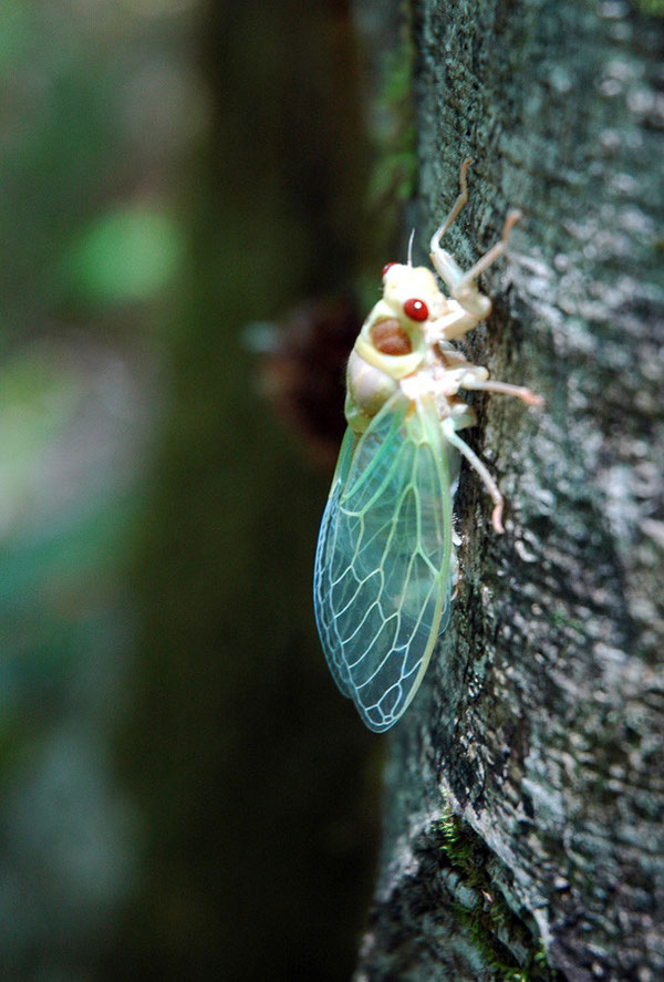 ブナの巨木で誕生したセミ