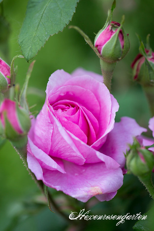 Rosen  Blüte Hexenrosengarten