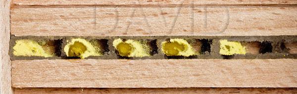 Rote Mauerbiene Osmia bicornis Brutzelle Beobachtungsnistkasten