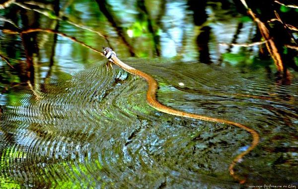 Die Ringelnatter, hier schwimmend im Moorsee